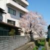 今日の会社の桜