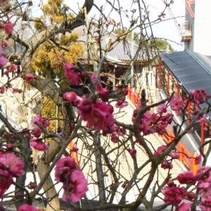 中山寺で咲き始めの梅