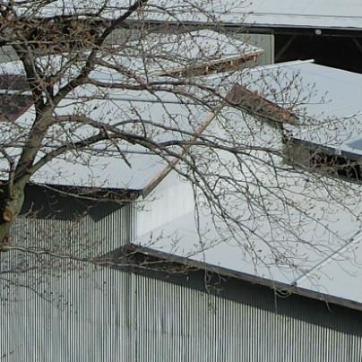 写真の桜はまだつぼみが固い