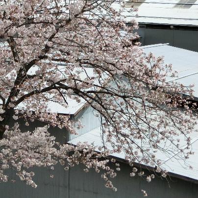 桜の枝垂れに薄い色で桜の花が6割くらい咲いています。