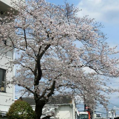 桜の花が六分ほど咲いています。