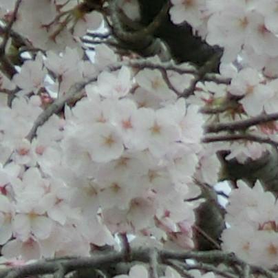 当社の桜は、色がわりと薄めです