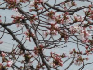 神崎(株)・快適空間スクリオ・神崎屋に咲く桜が南側の川面に映る様子