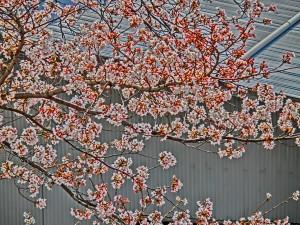 神崎(株)・快適空間スクリオ・神崎屋の敷地に咲く桜は七分咲きをアップで撮った様子。桜色が爽やかです。
