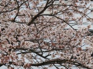 神崎(株)・快適空間スクリオ・神崎屋の桜が満開になっている様子をうんとアップで撮影