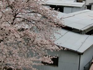 神崎(株)・快適空間スクリオ・神崎屋の桜が満開になっている様子