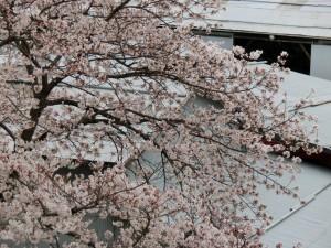 神崎(株)・快適空間スクリオ・神崎屋の桜が満開になっている様子をややアップで