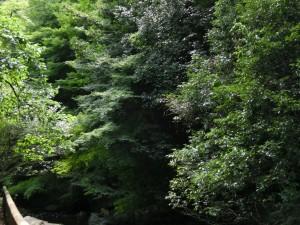 箕面の森が鬱蒼と茂っています