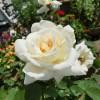 薔薇も見頃でっせ