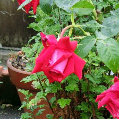 鉢植えに咲く赤い薔薇の花が雨に濡れています