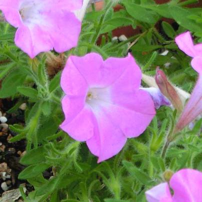 薄紫のパンジーが鉢で咲いています。