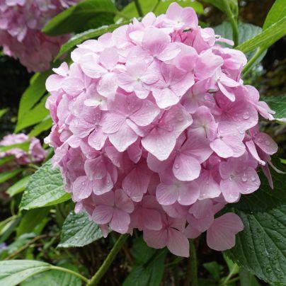 雨露に濡れる薄紫の紫陽花
