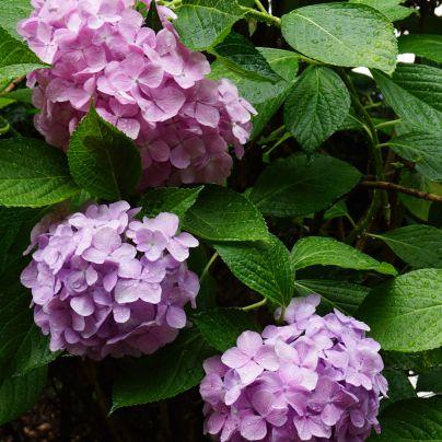 薄い赤紫の紫陽花が、画面の左奥に、やや濃いめの紫の紫陽花下、画面左側と手前に咲いているのが映っています。