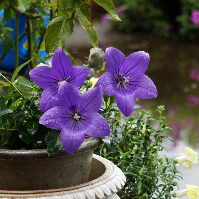 雨露に濡れる桔梗の花