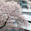 会社の桜・満開
