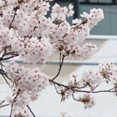 スクリオに植わる桜の花をアップで撮す。