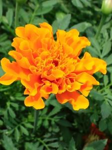 わが家の庭に咲くマリーゴールド。濃いオレンジ色です