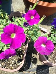 うちの庭に咲く花