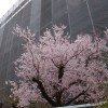 ご近所の桜は、もう七分咲き