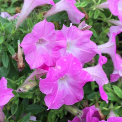 薄紫の花が3輪、雨にぬれています。