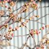 桜がもうすぐ咲きそうです。