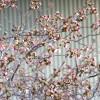 桜…もう少し!