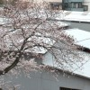 今日の桜。もうすぐ満開です。