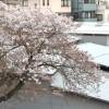 桜が散ってしまいました
