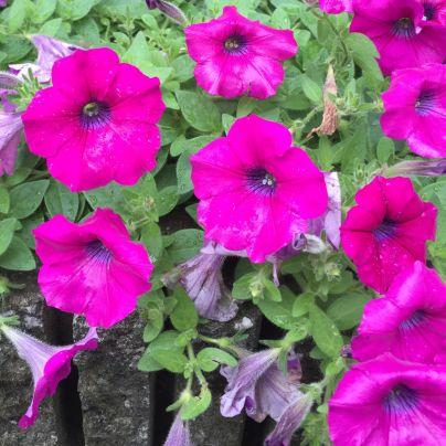 紫色した花、ペチュニアが八輪、雨露に濡れています