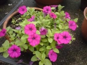 我が家にある雨上がりの鉢植え、その2