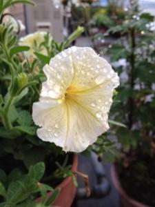 薄黄色いペチュニアの花が一輪、たくさんの雨水を花びらにたたえて咲いています。
