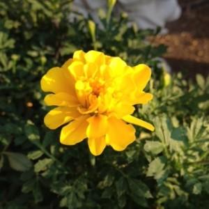 黄色い菊の花が夕日に照らされ赤みをを帯びて、橙色に近くなっています