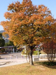 箕面市立病院の玄関前ロータリーの脇に葉を茶色に染めた木が立っています。