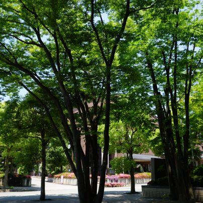 箕面市立中央図書館前で、若葉が綺麗