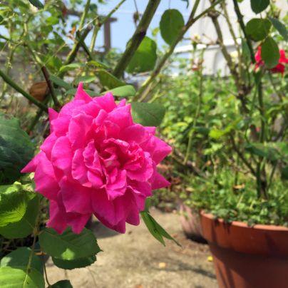 鉢植えに赤い薔薇が咲いています。