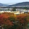 せいなん幼稚園前の桜紅葉が色づいて
