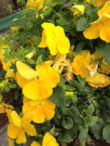 快適空間スクリオの店先に咲く黄色いすみれ