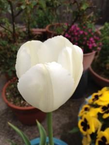 鉢植えに1輪の白いチューリップが咲いています。