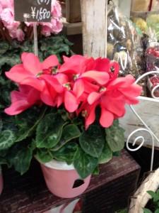 赤いポインセチアの鉢植え