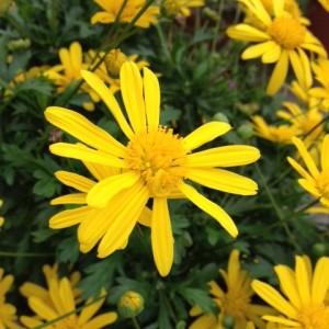 たくさんの菊の花。中央にはきっちり咲いた花が写っています。