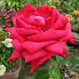 赤い薔薇が、小雨に濡れています。