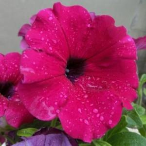 赤紫のすみれが雨に濡れています