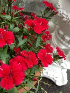 赤い花が鉢植えに植わっています。