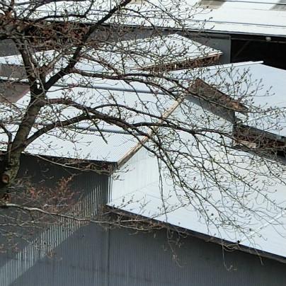 神崎(株)の桜、咲くにはまだしばらくかかりそう。