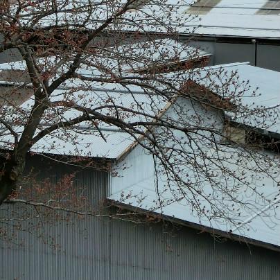 当社の桜の木、遠目にはまだ咲きそうにありません。