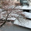 今日の桜。かなり咲いています。