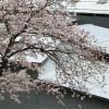 桜、六分咲き