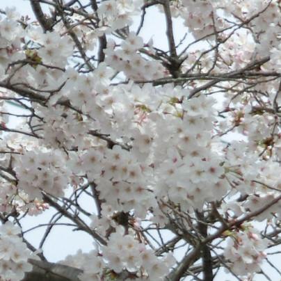 桜の花が丁度、咲いた時分ですね