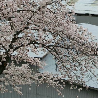 枝にうすい紅色のさくらがいっぱい咲いています