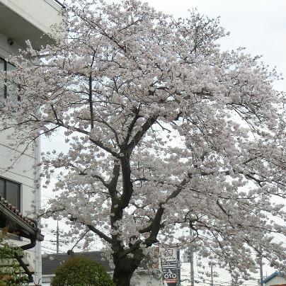 社屋の白い壁にほぼ満開の桜です